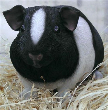 Guinea Pig Pet Pal Black and White Body - Large