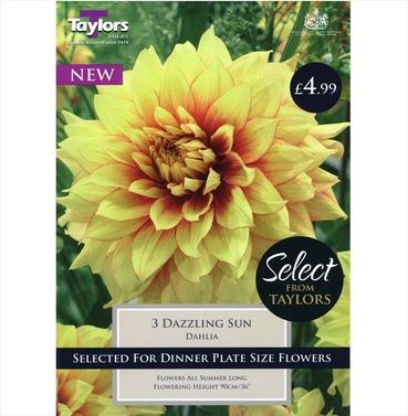 Dazzling Sun Dahlia Tubers - Taylors Bulbs